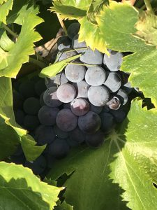 Rhone Grapes